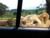 lionne ouvre la voiture