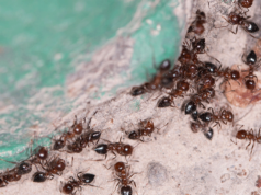 répulsifs naturels contre les fourmis